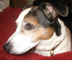 Algie the Jack Russell Terrier