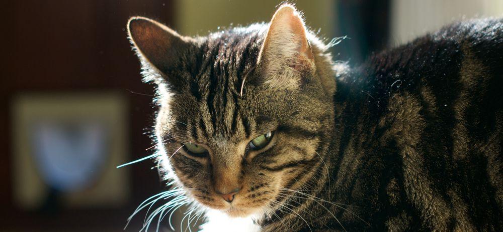 Nikko the Cat