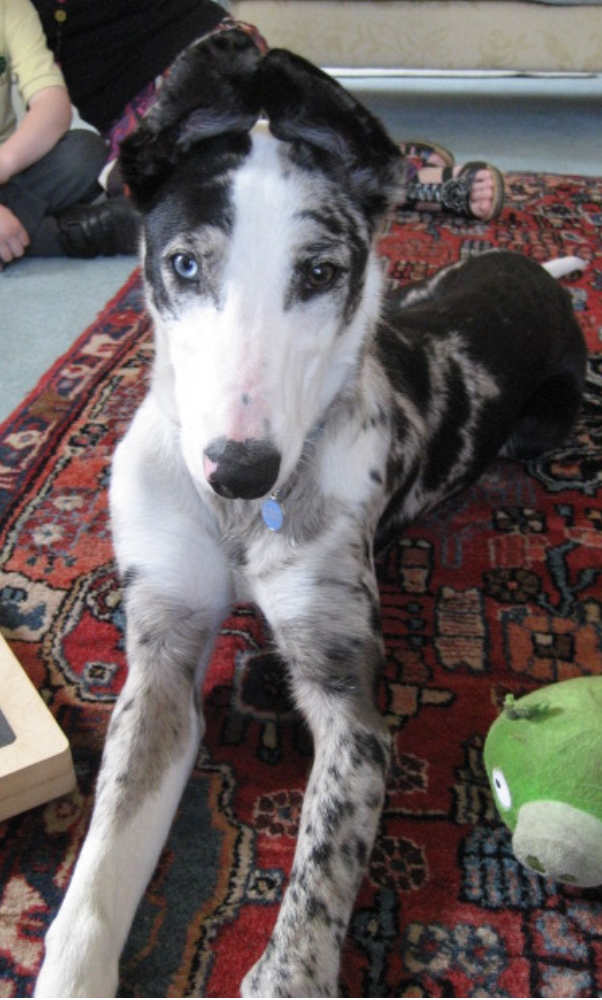 Chelsea the Lurcher Pup